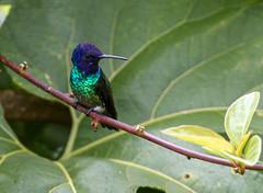 IMG_0232 Golden-tailed Sapphire (suebmtl) Tags: humminbird bird ecuador goldentailedsapphire chrysuroniaoenone napoprovince wildsumaco blue green
