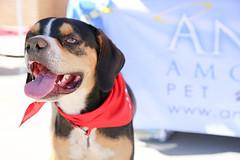 dudleywalker-5998 (angelsrescue) Tags: aau pets angels among us pet rescue alpharetta ga dog love