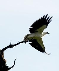 White-bellied sea eagle (Michael Aagaard Photography) Tags: australia australian bird birdofprey birds d5200 darwin eagle nikon nikond5200 northernterritory outdoor outdoors seaeagle sigma animals