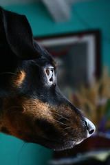 IMG_1053 (elBompy) Tags: nice foto forlife life forlive pet dog pinscher mypet mydog photo eyes elder colombia day