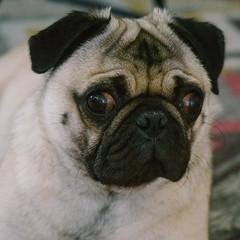 Heitu-00045 (kiddfei2012) Tags: pug dog pet puppy