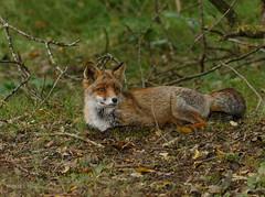 Chill mode. (JurgenMaassen) Tags: fox vos vulpesvulpes fuchs renardroux canoneos7dmarkii ef100400mmf4556lisiiusm14xiii