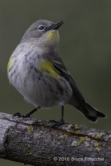Yellow-rumped Warbler With Open Beak (brucefinocchio) Tags: yellowrumpedwarblerwithopenbeak yellowrumpedwarbler warbler woodwarbler bird portrait sanlorenzocreek castrovalley eastbay california