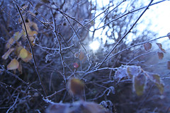 Brace yourself... (crowfoto) Tags: winter ice crystal cold blue plant frost leaf canon tbingen tuebingen nature natur ast