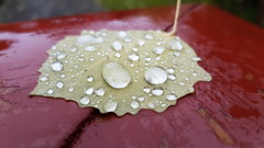 Nature's own magnifying glass (Ole Husby) Tags: 20161028105327 norge norway melhus leaf blad vanndrper waterdrops magnifyingglass forstrrelsesglass sooc