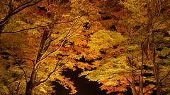 lighting maple trees (peaceful-jp-scenery (busy)) Tags: lakeyamanaka autumn leaves leaf lighting maple tree fuji5lakes           sony 7r a7r ilce7r amount sal1635z variosonnart1635mmf28zassm carlzeiss laea4