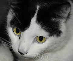 Louis the Black and White Cat (JackPeasePhotography) Tags: cat black white pet animals nikon 5300 d5300 dorset dslr