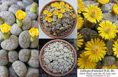 Lithops francisci C 140 (collage) (Succulents Love by Pasquale Ruocco (Stabiae)) Tags: lithopsfrancisc ic140 collage aizoaceae stabiae succulentslove succulents sassifioriti succulente succulent succulenta namibia cactusco pasqualeruocco piantegrasse piantagrassa plantesgrasses mesembs mesembryanthemum mesembryanthemaceae mimetismo mimicry forumcactusco floweringstones