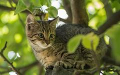kittens (27) (Vlado Ferenčić) Tags: kitty kittens cats catsdogs animals zagorje trees hrvatska hrvatskozagorje croatia nikond600 nikkor8020028 animalplanet