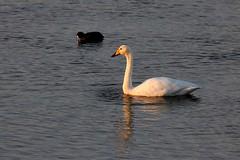Whooper Swan in evening sunlight (robin denton) Tags: yorkshirewildlifetrust northcavewetlands ywt wildlifetrust bird waterbird yorkshire swan whooperswan cygnuscygnus