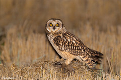 CORUJA-DO-NABAL | SHORT-EARED OWL (Asio flammeus) (Carlos Patrício) Tags: shortearedowl asioflammeus corujadonabal