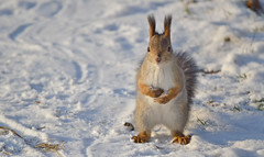 - Excuse me, is spring coming soon? (L.Lahtinen) Tags: squirrel redsquirrel snow cold frost winter nikond3200 55300mm nature nikkor fauna orava kurre squirrelinwinter furry fellow funnysquirrel funny wildlife wild finland suomi hungrysquirrel cute adorable pretty luonto eläin lunta lumi suloinen söpö flickr larissadatsha longtufts