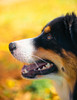 Dogs of Autumn (Lynleigh Cooper) Tags: dog dogs puppy beauty beautiful beautyinnature fall color colors pets petphotography petpictures pet bokeh animals animal love lovely outdoors outside autumn aussie australianshepherd depthoffield detail orange yellow leaves fun naturalbeauty natureshot naturecloseup naturephotography profile primelens nikon nikond610 d610 fullframe fanciful magic magical sweet cute cuteanimals cutie focus eyes bigeyes oklahoma america amazing wonder outdoor 50mm photography photographer photo photooftheday photograph bestoftheday bestfriend boy youth new popular explore portrait black furry fur