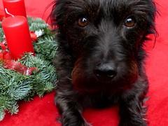 Advent (BrigitteE1) Tags: advent buddy buddylein mrb dog red green closeup cute pet colour smile flickr deutschland christmas