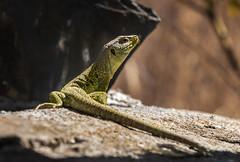 lagarto ocelado (Javi_Ramos) Tags: lagarto ocelado reptil peninsulaibrica cordoba adamuz alpasin