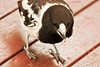 Pied butcherbird (12 of 22) (Daniela Parra F.) Tags: aves birds butcherbird piedbutcherbird australia queensland southeastqueensland birdsofaustralia australianwildlife aussiebirds australianbirds wild wildlife springbrook subtropical rainforest mountainrainforest springbrooknationalpark