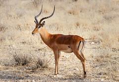 Impala Pose 2 (perkster24) Tags: impala antelope wild wildlifephotography wildlife wildanimal africa african kenya nature naturephotography masaimara masaimaranationalreserve fujixe2 fujixf100400mmf4556
