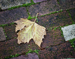 Saying Goodbye (mjardeen) Tags: olympus100mm2zuiko om olympus 100mm 2 zuiko tacoma washington sony a7ii a7m2 fall plants color bokeh dof depthoffield decay leaf maple bricks walkway sidewalk water waterdrops on1effects on1 texture pattern outdoors