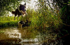33/52 This Boy's Going Places! (JJFET) Tags: dog dogs water for flying jumping collie paddy 33 border over weeks 52