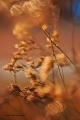 Primavera (Aprehendiz-Ana Lía) Tags: flores primavera luz sol argentina azul atardecer flickr bokeh cielo formas oro fotografía ramas dorada sensación resplandor aprehediz analialarroudé