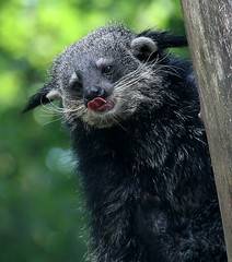 Binturong Tongue Twister (Ger Bosma) Tags: face tongue closeup asian head licking bearcat binturong arctictisbinturong beermarter marderbr bintoerong 2mg133518 mantur gatoosunonegro gattoorsino