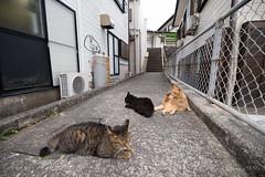 御蔵島 ネコ (GenJapan1986) Tags: 2015 にしかわ ネコ 伊豆諸島 動物 御蔵島 御蔵島村 旅行 東京都 離島 日本 japan travel tokyo animal cat nikond610 island mikuraisland