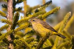 Palm Warbler (egdc211) Tags: bird nature canon birdwatcher backyardbirding naturewatcher connecticutbird newenglandbird