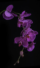 Purple Orchid Blossoms (Bill Gracey) Tags: flowers flores orchid color colour nature fleur blackbackground colorful purple orchids shapes orchidaceae naturalbeauty softbox homestudio offcameraflash tabletopphotography yn560 yongnuorf603n yn560iii