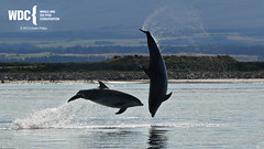 _7D28889 (Charlie S Phillips) Tags: dolphin wildlife phillips watching conservation wdc charlie moray firth bottlenose tursiops truncatus