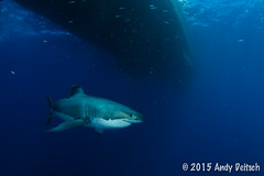 20151001-163744-219 (andy_deitsch) Tags: mexico sharks 2015 guadalupeisland