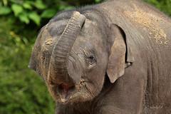 Aziatische olifant RAVI (K.Verhulst) Tags: elephant ravi elephants olifant emmen noorderdierenpark olifanten dierentuinemmen asiaticelephants aziatischeolifanten