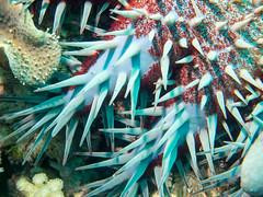 Crown-of-Thorns Starfish (shayhaas) Tags: sea fish starfish wildlife redsea scuba diving jeddah dives saudiarabia crownofthornsstarfish