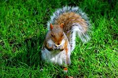 Buon Pranzo! (Aleunam69) Tags: newyork nature animals squirrel squirrels natura animali parchi scoiattolo scoiattoli