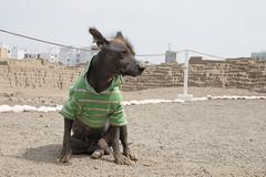 A dog that lives in Huaca Pucllana (acoconita9) Tags: dog ancient pyramid breed hairless peruvian huaca pucllana