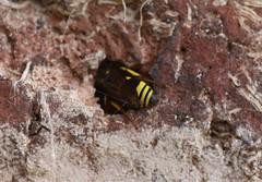 Potter wasp (eumeninae) (NW Jase) Tags: eumeninae potterwasp