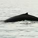 Atrás das baleias jubarte