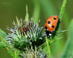 Ladybird, ladybird (Jill Hempsall) Tags: macro thistle ladybird ladybug