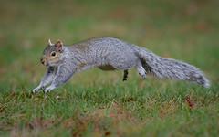 Look Mom! No Hands or Feet ;) (swbshop1) Tags: greysquirrel easterngraysquirrel
