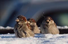 Snowy Sparrows (Hammerhead27) Tags: winter sun snow cold bird ice denmark bright sparrow