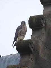 practicing the falcon stare