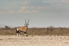 Survival wonder (Thomas Retterath) Tags: africa nature animals canon tiere wildlife ngc natur npc afrika bovidae mammals namibia allrightsreserved oryx herbivore gemsbok 2015 säugetier 420mm 14tc oryxgazella pflanzenfresser etoshanationalpark nebrowni spiesbock thomasretterath eos5dmarkiii copyrightthomasretterath ef300lis28usm