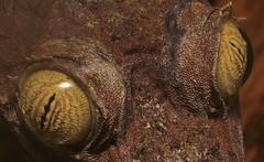 Leaf-Tailed Gecko (Uroplatus fimbriatus) _DSC0145 (ikerekes81) Tags: macro closeup zoo washingtondc smithsonian dc nikon reptile national nationalzoo gecko kerekes ik istvan rdc nikond3200 leaftailed dczoo uroplatusfimbriatus smithsoniannationalzoologicalpark smithsoniannationalzoo leaftailedgecko d3200 washingtondczoo reptilediscoverycenter zoosmithsonian 18105mm sb700 istvankerekes reptilediscoverycenterzoonationalnational
