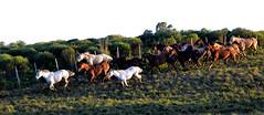 Lanante abaixo (Eduardo Amorim) Tags: brazil horses horse southamerica brasil criollo caballo cheval caballos cavalos pelotas pferde herd cavalli cavallo cavalo pferd riograndedosul pampa hest hevonen campanha brsil chevaux  amricadosul hst  amriquedusud   sudamrica suramrica amricadelsur  sdamerika crioulo caballoscriollos criollos  tropillas  costadoce americadelsud tropilhas tropilla  crioulos cavalocrioulo americameridionale tropilha caballocriollo eduardoamorim cavaloscrioulos