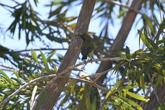 Olive-backed Sunbird (27) (sixdos) Tags: nature birds fauna canon queensland accomodation missionbeach biodiversity sunbird tropicalnorthqueensland farnorthqueensland olivebackedsunbird nectariniajugularis yellowbelliedsunbird australiannativefauna canoneos7dmarkii missionbreaze