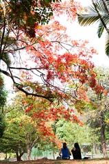 Reflexões... (Centim) Tags: parque cidade minasgerais brasil nikon foto br capital mg belohorizonte fotografia árvore flamboyant bh vegetação estado américadosul país sudeste d90 parquemunicipal centrodebh centrodebelohorizonte continentesulamericano parqueaméricorennégiannetti