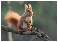 l'équilibriste (guiguid45) Tags: nature nikon animaux forêt eichhörnchen écureuil sauvage loiret mammifères 500mmf4 superfotos d810 schönestier spitzenfotos