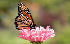 Papillon monarque (Ste.Baz) Tags: nyc orange usa ny flower macro butterfly mariposa monarchbutterfly centralparknyc monarque centralparknewyorkcity papillonmonarque