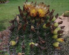 Ferocactus herrerae, Queens Gardens, Townsville, QLD, 20/12/15 (Russell Cumming) Tags: plant queensland cactaceae townsville queensgardens ferocactus ferocactusherrerae