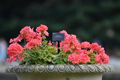 Pelargonium (JerryGoulet) Tags: pelargonium geranium composition kewgardens garden light fleurs pink flowerpot
