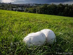 Giant Puffballs (Roger B.) Tags: barnsley calvatiagigantea fungi fungus giantpuffball grassland southyorkshire unitedkingdom